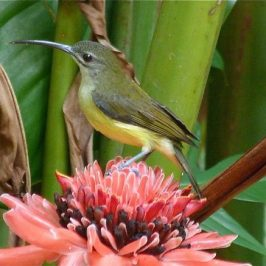 Little Spiderhunter calling