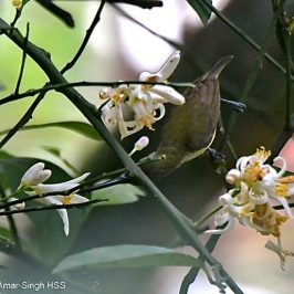 Little Spiderhunter – nectar feeding and calls