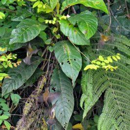 Little Spiderhunter – nesting behaviour