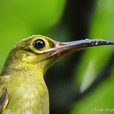 A close look at the Spectacled Spiderhunter