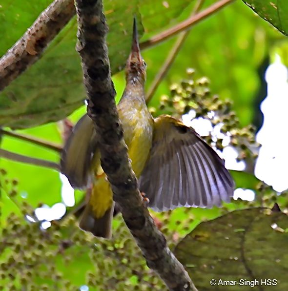 Spectacled Spiderhunter: Cross-species feeding