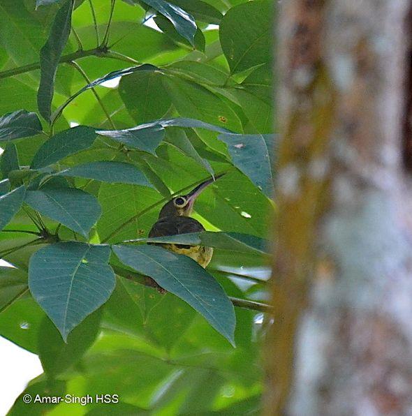 Spectacled Spiderhunter's nesting behaviour