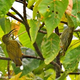 Streaked Spiderhunter – family unit & juveniles