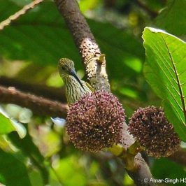 Streaked Spiderhunter feeding on flowers of <em>Poikilospermum suaveolens</em>