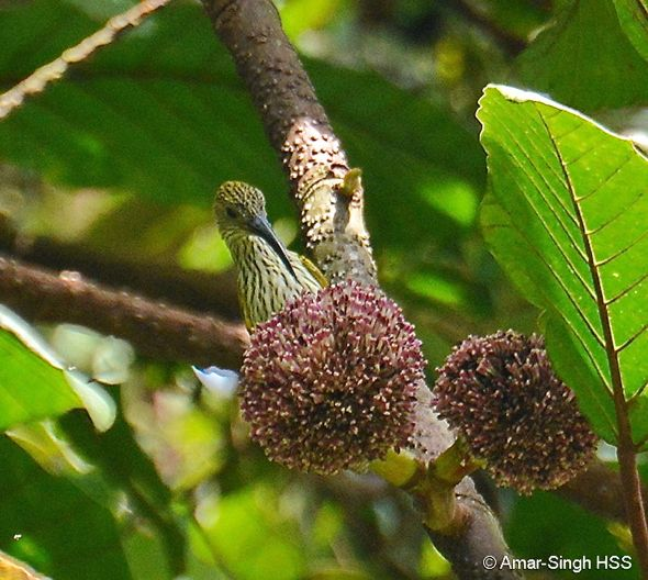 Streaked Spiderhunter feeding on flowers of Poikilospermum suaveolens