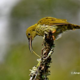 Streaked Spiderhunter – foraging