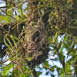 Yellow-eared Spiderhunter: 2. Nesting