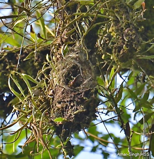 Yellow-eared Spiderhunter: 2. Nesting