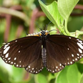 Paedophilic behaviour in Butterflies?