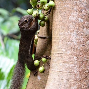 Plantain Squirrel eating figs