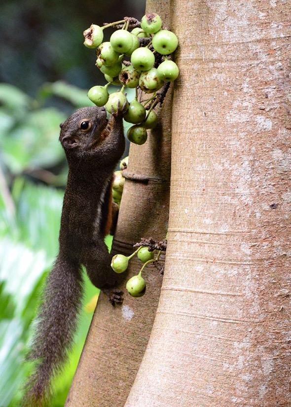 Squirrel-Ficus variegata [MichaelKhor]