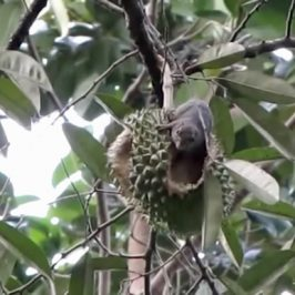 Durians, a squirrel and a monkey
