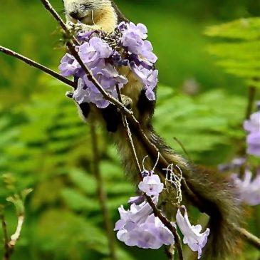 Variable Squirrel licks nectar from jacaranda flowers