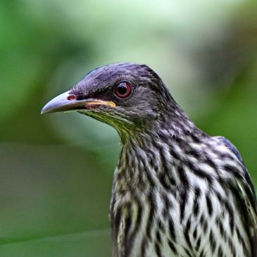 Asian Glossy Starling – juveniles and immature