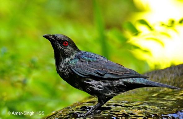 Asian Glossy Starling, immature bird