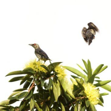Juvenile Asian Glossy Starling feeding on Golden Penda flower nectar