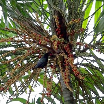 Starling and oriole swallowing MacArthur Palm fruits