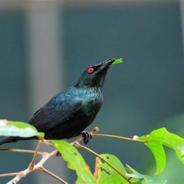 Asian Glossy Starling eating <em>Nephelium lappaceum</em> leaves