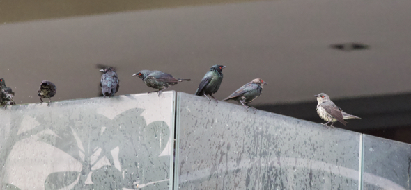 Asian Glossy Starlings at a garden fountain…