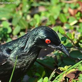 Asian Glossy Starling – hackle feathers