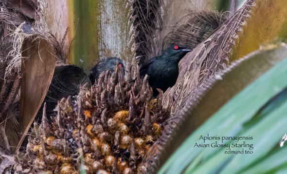 StarlingAG-oil palm [EdmundTeo]