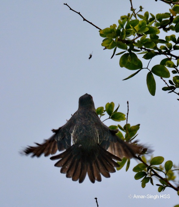 An immature Asian Glossy Starling going after its prey