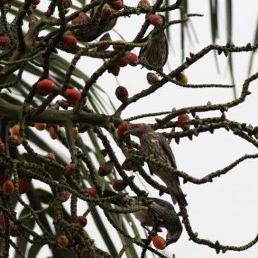 Juvenile Asian Glossy Starlings eating Rhopaloblaste ceramica fruits