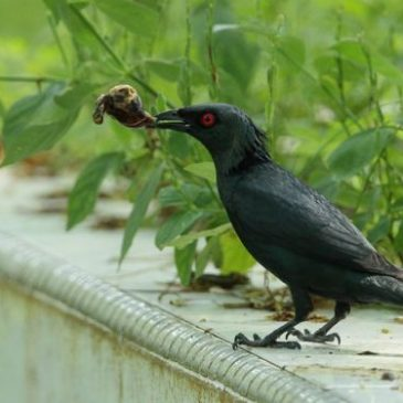 Asian Glossy Starling caught a snail