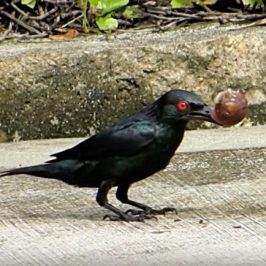 Asian Glossy Starling de-shelled a snail