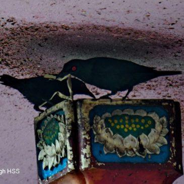 Asian Glossy Starling – nesting behaviour