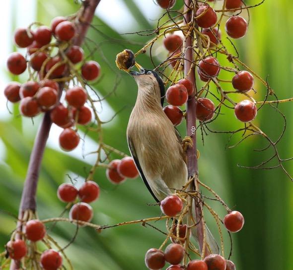 Brahminy Starling (Sterns pagodarum)