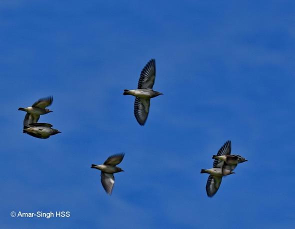 StarlingD [AmarSingh]