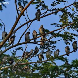 Purple-backed Starling/Daurian Starling – flock/feeding