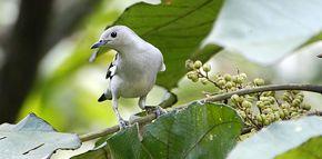 Birds and the giant mahang <em>Macaranga gigantea</em>