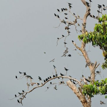 Roosting of a mixed flock of starlings