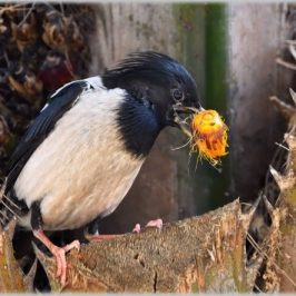 Rosy Starling swallowing Oil Palm fruit