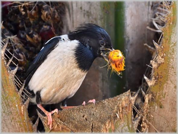 StarlingR-oil palm [TonyChua] 1