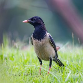 Rosy Starling and its head feathers