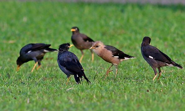 Vinous-breasted Starling at Pasir Ris Park