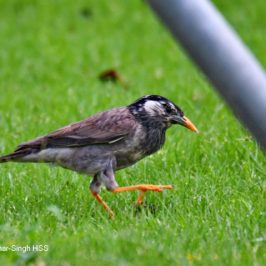 White-cheeked Starling – overstayed?