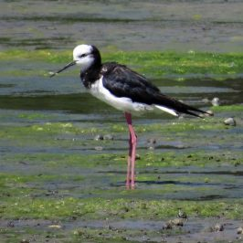 PIED STILT FEEDING AND PREENING