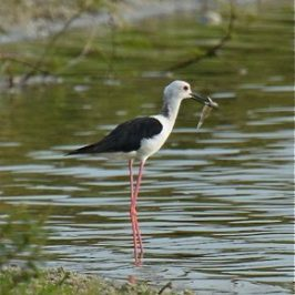 Black-winged Stilt feeding on fish