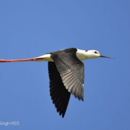 Black-winged Stilt – feeding, flight and call