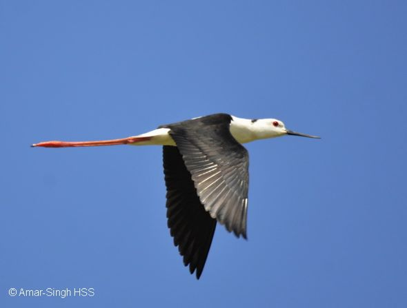 Black-winged Stilt - feeding, flight and call