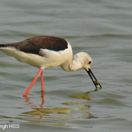 Black-winged Stilt feeding on molluscs and fish