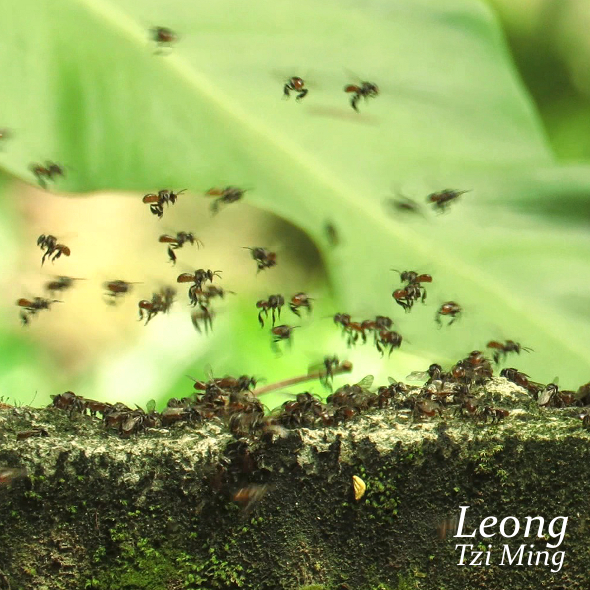 SWARMING OF STINGLESS BEES