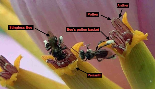 Male flowers with Stingless Bees gathering pollen, parts labelled (Photo credit: YC Wee)
