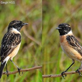 Male Eastern Stonechat in breeding plumage