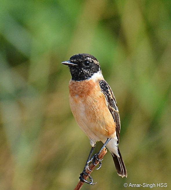 Male Eastern Stonechat in breeding plumage