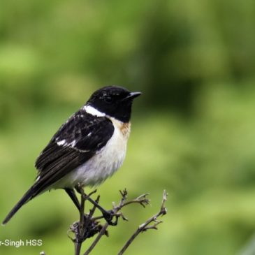Stejneger's Stonechat – breeding males and females